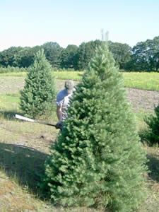Christmas Tree Farming Throughout The Year Christmas Tree Farm Tree Farms Farm