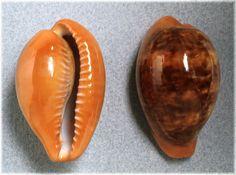 190-Thais - conchiglie - Zonaria pyrum