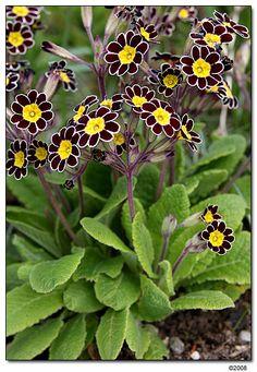 Silver laced primrose