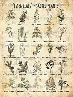 essentials herbs/ sacred healing herbs of First Peoples Magic Herbs, Herbal Magic, Plant Magic, Wicca Witchcraft, Magick, Wiccan Art, Wiccan Spell Book, Green Witchcraft, Wiccan Witch