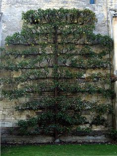 Espalier Trellis | espaliered quince at Anglsey Abbey - flickr via Atticmag