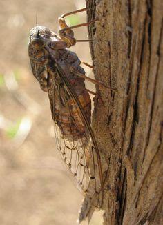 Cicada cretensis :: European Cicadas