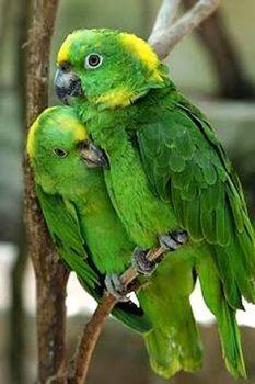 parrots (70 pieces)