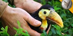 Baby Toucan Rescued!