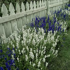 Salvias, also called sages, are some of the most versatile plants around. Most varieties are wonderfully drought tolerant and feature beautiful flowers with pleasantly scented, attractive foliage. Deer, bunnies, and other garden pests typically ignore the plants.