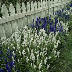 Les salvias ou sauges officinales font partie des plantes les plus polyvalentes…