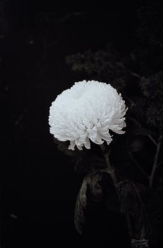 View Chrysanthemum by Wolfgang Tillmans at Galerie Buchholz in Berlin, Germany. Discover more artworks by Wolfgang Tillmans on Ocula now. Flowers For Men, Dark Flowers, Wild Flowers, Color Photography, Nature Photography, Crysanthemum, Wolfgang Tillman, Belle Plante, Artist Gallery