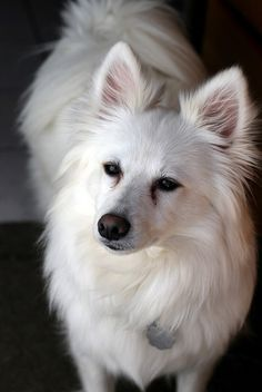 One of my most favorite type of dogs, an American Eskimo :)