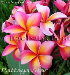 pattaya star