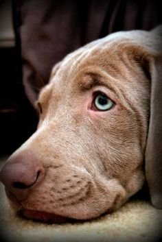 In those blue eyes you see your reflection as they stare at you and worry about you.  Who doesn't love dogs?