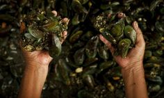 """""""Increasingly acidic oceans threaten world's mussel populations-Mussel shells could become more brittle as climate change causes acidity of world's oceans to rise, scientists have warned. Climate Change Effects, Mussels, Marine Life, Ecology, Oceans, Scientists, World, Shells, Html"""
