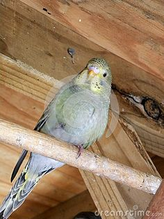 A close-up view of a grey green fledgling budgie in an aviary.