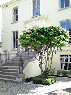 Multi-stemmed Parrotia persica tree | beautiful sculptural specimen tree ( Meerstammige perzisch ijzerhout)