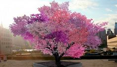 "[The Most Beautiful Tree in the World] // ""A spliced tree in Syracuse University that bears 40 different kinds of fruit"""