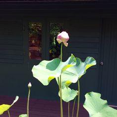 My beautiful lotus! Finally