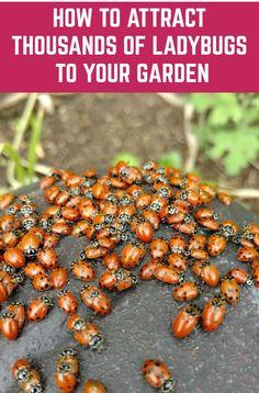 Ladybug Garden, Garden Bugs, Garden Insects, Veg Garden, Garden Pests, Edible Garden, Fruit Garden, Vegetable Gardening, Quick Garden