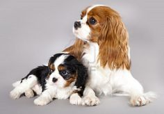 Google Image Result for http://us.123rf.com/400wm/400/400/lilun/lilun1112/lilun111200035/11452168-cavalier-king-charles-spaniel-puppies.jpg