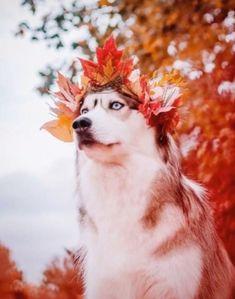 Beautiful Dogs, Animals Beautiful, Animals And Pets, Funny Animals, Cute Dog Wallpaper, Wolf, Cute Husky, Siberian Husky Dog, Australian Shepherd Dogs
