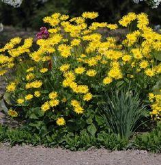 Nádherní žltá kvety rozjasnia jarné kompozície. Nenáročná trvalka do každej záhrady.