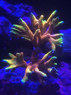 Click this image to show the full-size version. Coral Reef Aquarium, Marine Aquarium, Marine Fish, Coral Reefs, Underwater Creatures, Ocean Creatures, Underwater World, Saltwater Fish Tanks, Saltwater Aquarium