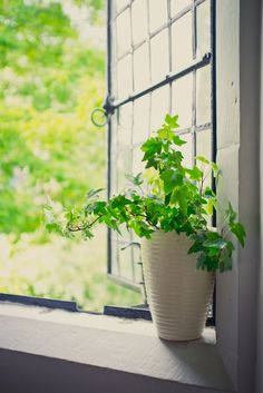 You can breathe easier around this simple-to-care-for English Ivy — it's rated as one of the top plants that naturally clean the air. Ivy Plant Indoor, Indoor Trees, Indoor Flowers, Ivy Plants, Cool Plants, Unique Plants, Potted Plants, English Ivy Plant, English Ivy Indoor