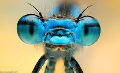 Bulging eyes: This stunning bright blue bug has giant eyes protruding from the side of its head