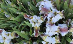 Light wedgewood blue dwarf iris. Beautiful en masse. Unknown cultivar. 4-6 inches tall, early spring, fragrant.
