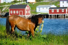 The Newfoundland and Labrador Government has committed to its iconic heritage animal by authorizing the creation of the Newfoundland Pony Heritage Park. Atlantic Canada, Newfoundland And Labrador, All About Animals, Travel Oklahoma, Prince Edward Island, New Forest, Canadian Rockies, New Brunswick, New York Travel