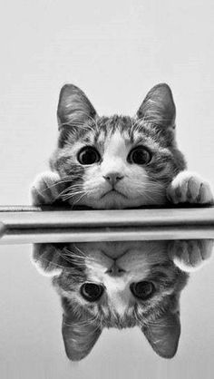 Cat reflection. OMG i just love them (cats)!