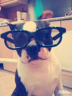 This Boston Terrier can put on some 3D Glasses to Get a Treat! ► http://www.bterrier.com/?p=27063 - https://www.facebook.com/bterrierdogs