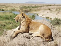 Lioness resting on termite mound in the Serengeti, Tanzania, Africa by jfarris, via Flickr