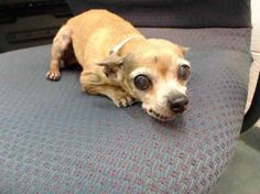 Pleeeeeeeez save me!  My last humans were psychopaths! I really can't take anymore abuse! I just need peace & love! PUCHITA (A1535432) 11yr old OWNER SURRENDER Chi *My owner surrendered me with puncture wounds instead of taking to a vet so they could go to Vegas.  I am a female black tiger and white Chihuahua - Smooth Coated. The shelter staff think I am about 11 years old. I was turned in by my owner and I may be available for adoption on 06/11/2013.
