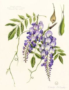 Image result for clematis botanical illustration