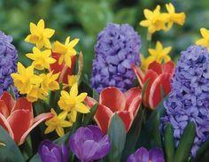 Image detail for -Daffodils tulips crocus hyacinth flowers Wallpaper Hyacinth Flowers, Bulb Flowers, May Flowers, Daffodils, Colorful Flowers, Spring Flowering Bulbs, Spring Bulbs, Spring Blooms, Spring Flowers