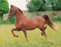 American Saddlebred - Bing Images