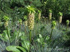 Kolorowy ogród na piasku - strona 4 - Forum ogrodnicze - Ogrodowisko. Eukomis
