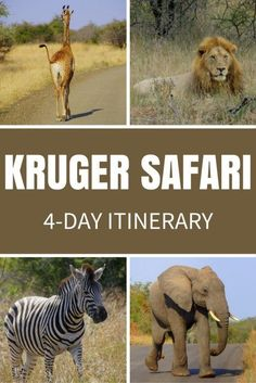 Safari in Kruger National Park, South Africa! Here is my 4-day itinerary for budget travellers who want to go on a Kruger safari and not break the bank.