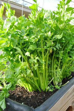 How to grow Celery !! I grew Celery for the 1st time last year and just loved it.... so easy to grow and delicious !