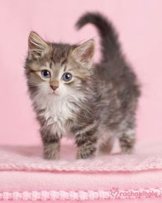 Cute Kittens, Kittens And Puppies, Cats And Kittens, Baby Cats, Baby Animals, Cute Animals, Animal Fun, Here Kitty Kitty, Tigers