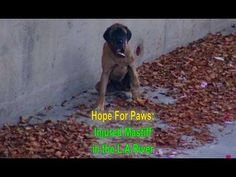 Hope For Paws and the L.A. Fire Department saving an injured Mastiff fro...