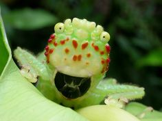 """""""ftcreature:   Meet the Top Dog of the rainforest! This is the carnivorous Pitbull Katydid (Lirometopum coronatum) that stalks the undergrowth of Costa Rican jungles.  full article: http://www.thefeaturedcreature.com/2013/12/top-dog-of-the-rainforest-the-carnivorous-pitbull-katydid.html photos by Kenji Nishida   """""""