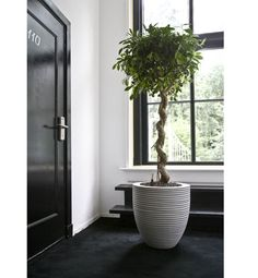 Ficus Nitida, door, planter, windows and dark/light contrast. White Planters, Indoor Planters, Indoor Garden, Office Plants, Interior Plants, Exotic Plants, Ficus, Topiary, Plant Decor