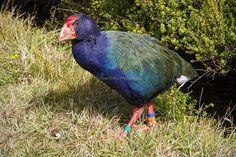 Beautiful Takahe in all its glory, Mana Island Photography Photos, New Zealand, Birds, Island, Children, Animals, Beautiful, Young Children, Boys