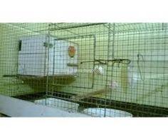 2 pair lutino breeding pair birds for sale Aquarium Fish For Sale, Birds For Sale, Home, Ad Home, Homes, Haus, Houses