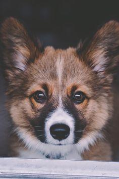 ✧píntєrєst : oheygorgeous •°•✧ Corgis, Cool Dogs, I Love Dogs, Corgi Mix, Corgi Puppies, Cute Puppies, Dogs And Puppies, Corgi Clothes, Fluffy Corgi