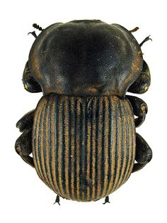 Anomalipus elaphus, An Armored Tank Tenebrionid. From Beetles in the Bush, Ted McRae.