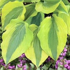 Hosta 'Goodness Gracious'