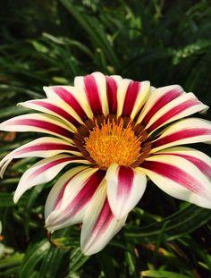 Gerbera Daisy   by E Beautiful gorgeous pretty flowers