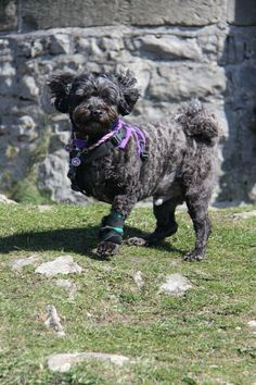 Jojo the 3 legged Lhasapoo!
