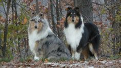 Rough Collies - my favorite breed...I think Rough collies are one of the most pleasing breeds on every level...This links to a Breeders page featuring some exquisite collies.